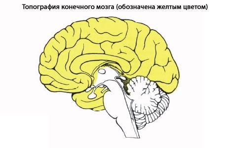 Передний мозг, из которого