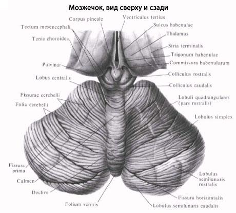 Схема частей мозжечка