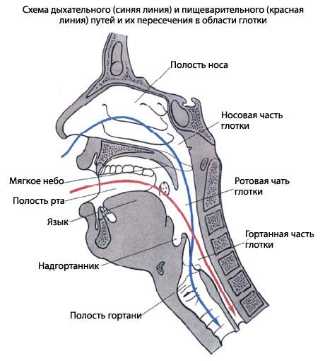 Pars laryngea, гортанная часть