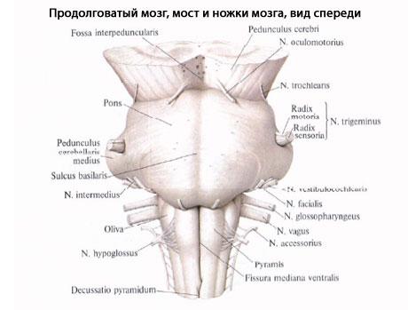 Продолговатого мозга: