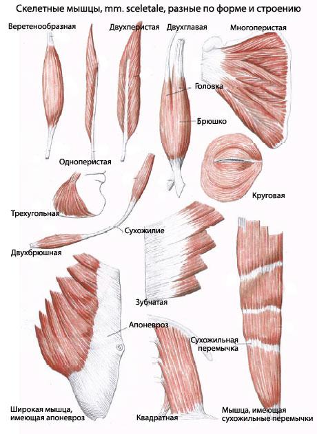 Скелетных мышц: