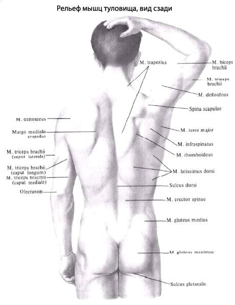 Мышцы спины представляют собой