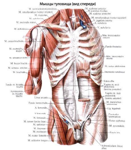 Мышцы туловища человека