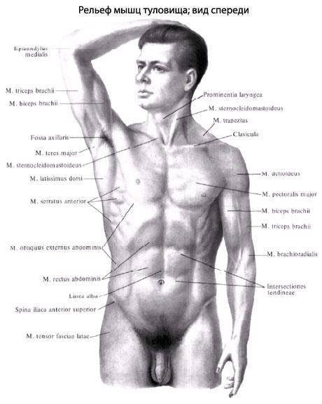 Глубокие мышцы спины занимают