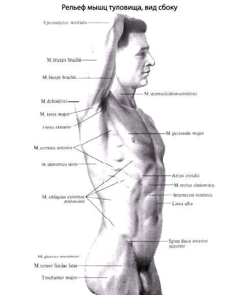 Мышцы живота, образующие
