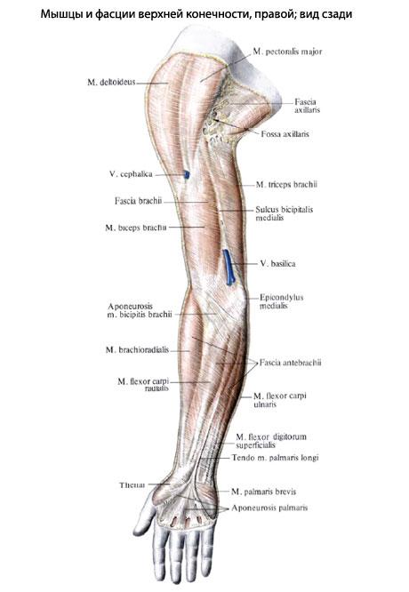 Передняя группа мышц верхней