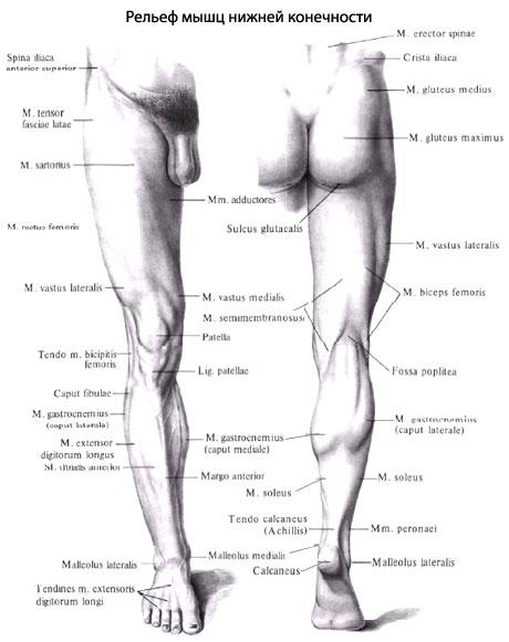 Мышцы бедра подразделяется на