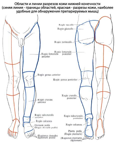 Мышцы стопы подобны мышцам
