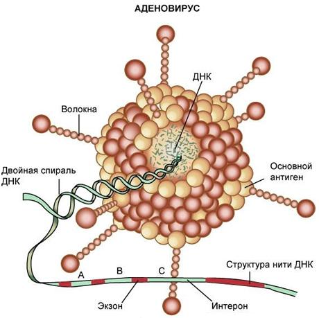 аденовирус