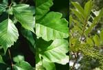 Запомните эти ядовитые растения: (слева направо) ядовитый плющ, дуб, сумах. Сыпь от ядовитых растений (продолжение). Для облегчения зуда можно использовать медпрепараты, продающиеся без рецепта. При более серьезных случаях, применяется кортизон. Если кожа сильно поражена, возможно, будут необходимы антибиотики. Чаще всего при устранении контакта с ядовитым растением и сыпь проходит.