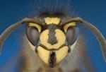 Яд от укуса насекомого может вызвать аллергическую реакцию. У людей, чувствительных к укусам насекомых, зачастую аллергическая реакция проявляется в серьезной, даже опасной для жизни форме. Симптомы: сильная опухоль и покраснение в месте укуса, которое может не уменьшаться неделю и больше, тошнота, усталость, слабая лихорадка. Редко, но укусы насекомых могут также вызывать анафилаксию (симптомы: затрудненное дыхание, сыпь, опухание лица или полости рта, учащенный пульс, головокружение или резкий скачок кровяного давления). При сильной аллергии немедленно после укуса нужно принять эпинефрин, а противоаллергенные средства рекомендуются для профилактики анафилаксии в будущем.
