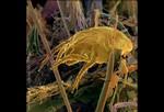 Пылевой клещ в комке грязи из волос, частичек растений и строительного мусора. Пылевые клещи – микроскопические организмы, которые живут в домашней пыли. Благоприятные условия для их развития – влажные места. Питаются отмершими клетками кожи людей и домашних животных, а также пыльцой, бактериями и грибками. Чтобы предотвратить появление пылевого клеща на матрасах и подушках, используйте гипоаллергические подушки, раз в неделю стирайте простыни в горячей воде, по возможности избавьтесь от пылесборников таких, как чучела, шторы и ковры.