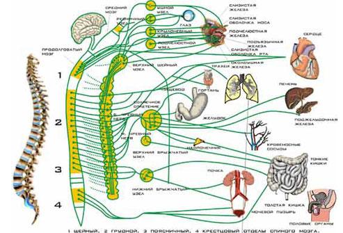Строение нервной системы человека Структурная единица нервной ткани нейрон.