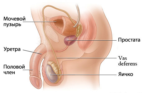 Количество лейкоцитов секрет предстательной железы