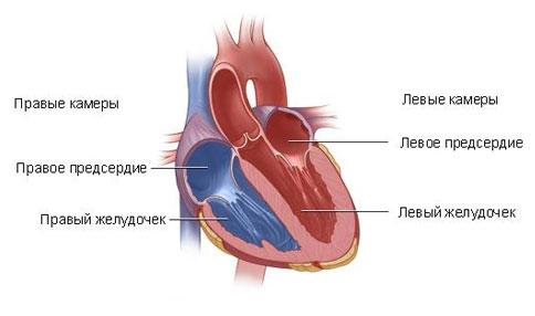 Структура сердца