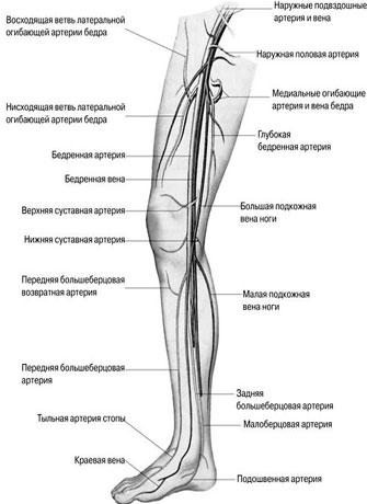 внутренней стороне ноги.