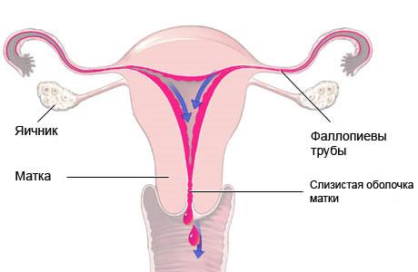 Половая система
