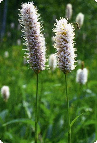 горец змеиный Polygonum, горец, спорыш, гусиная травка, почечуйная трава...