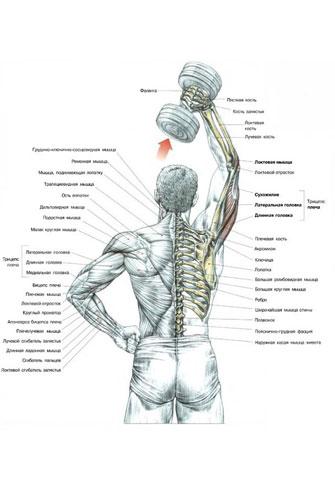 Разгибание одной руки с гантелью из-за головы Техника выполнения упражнения: Исходное положение: Стоя или сидя.