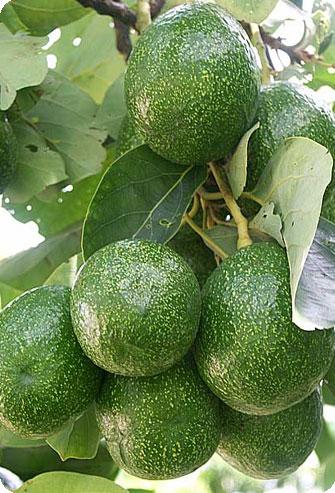 В плоде авокадо столько полезного что